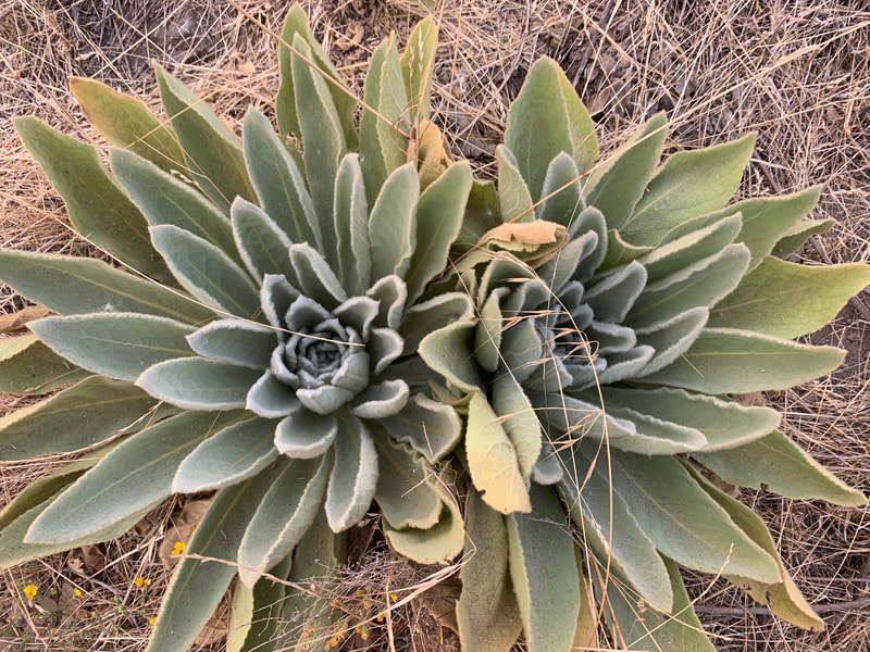 Wild Mullein's tea is great for lungs